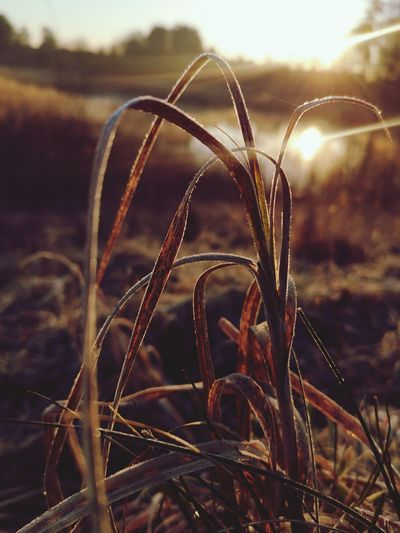 Close-up of grass on field during sunset