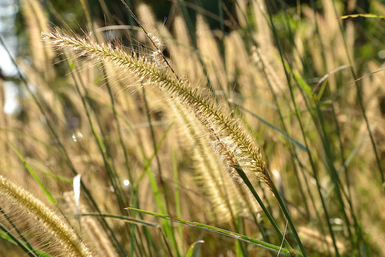 A close up view of beautiful cogon grass. Beauty In Nature Cereal Plant Close-up Cogon Grass Day Ear Of Wheat Field Grass Growth Nature No People Outdoors Plant Timothy Grass Tranquility Wheat