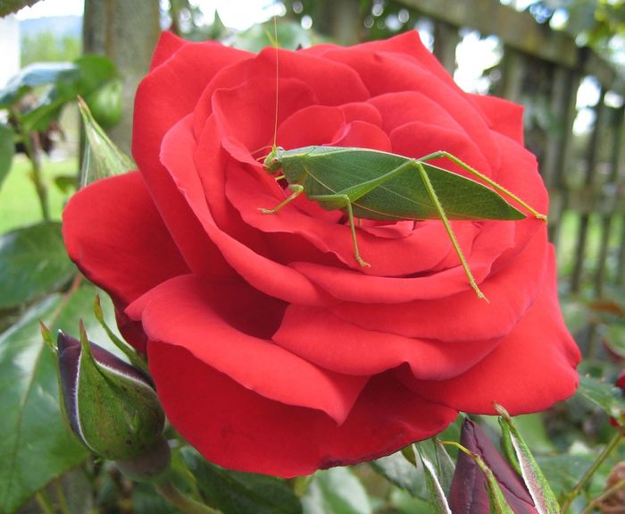 #grasshopper #insects #macro #Rose Beauty In Nature Blooming Bud Close-up Day Flower Flower Head Focus On Foreground Fragility Freshness Growth In Bloom Leaf Nature Petal Plant Red Rosé Rose - Flower Single Flower Maximum Closeness