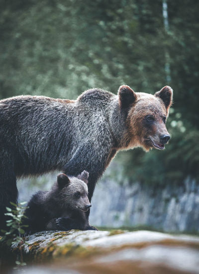 Bears on retaining wall at forest