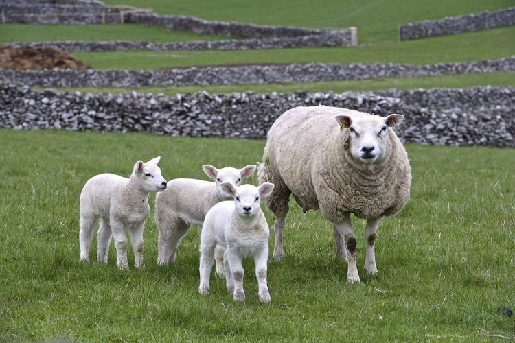 Sheep standing in farm