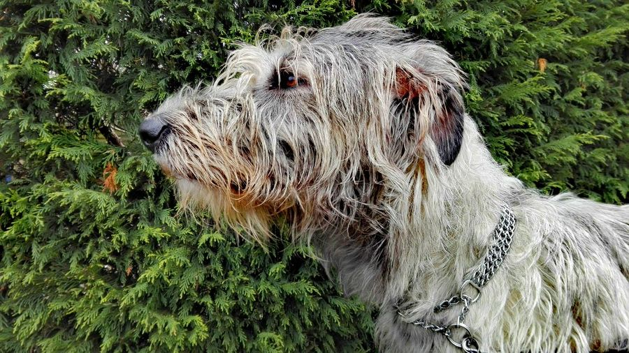 One Animal Animal Themes Outdoors Winter 2017 Cearnaigh Irish Wolfhound Dogwalk Dogs Of Winter Dogs Of EyeEm Dogslife February 2017 How's The Weather Today? Domestic Animals Bokeh Nature Animal Body Part Portrait Green Green Green