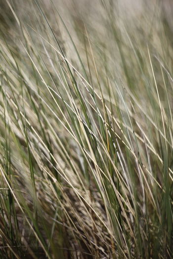 Close up of beach grass at Booti Booti Beach, Port Stephens, NSW, Australia. Australia Grass Travel Agriculture Background Backgrounds Beach Beauty In Nature Booti Booti Cereal Plant Close-up Crop  Day Field Full Frame Grass Green Color Growth Land Landscape Nature No People Outdoors Plant Rural Scene Sand Selective Focus Stalk Timothy Grass Tranquility Wheat