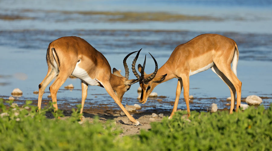 Deer fighting while standing at beach