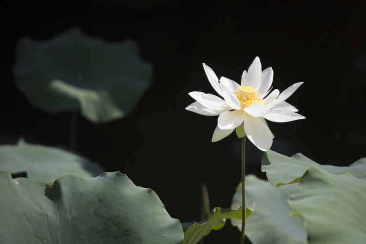 Flower Head Flower Black Background Water Lotus Water Lily Water Lily Petal Close-up