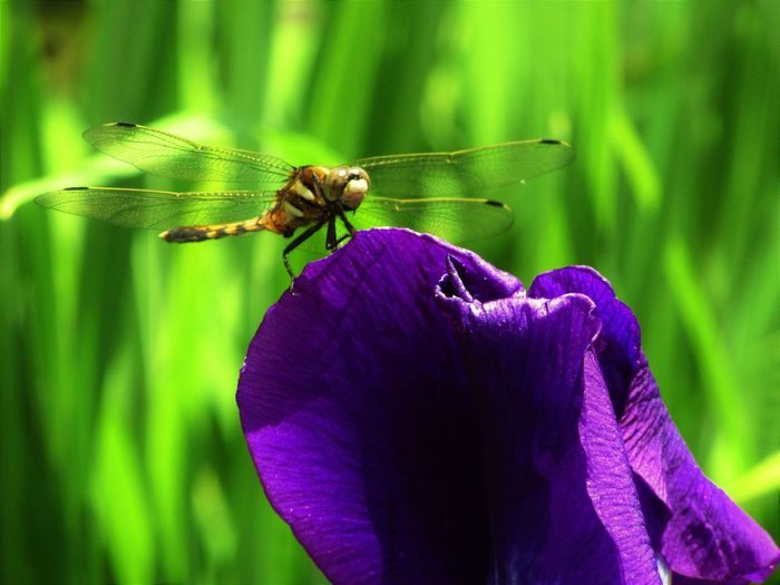 Dragonfly Plant Close-up Flower Flower Head Insect No People Petal Plant Purple