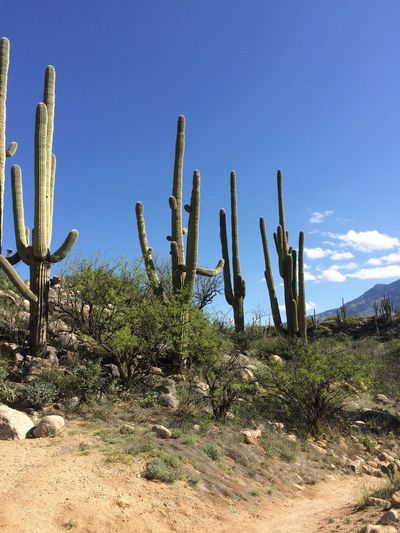 old saguaros, blue sky, white clouds, mountains