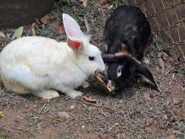 Animal Themes Mammal Domestic Animals Young Animal No People Outdoors Livestock Rabbit ❤️ Rabbit - Animal กระต่าย
