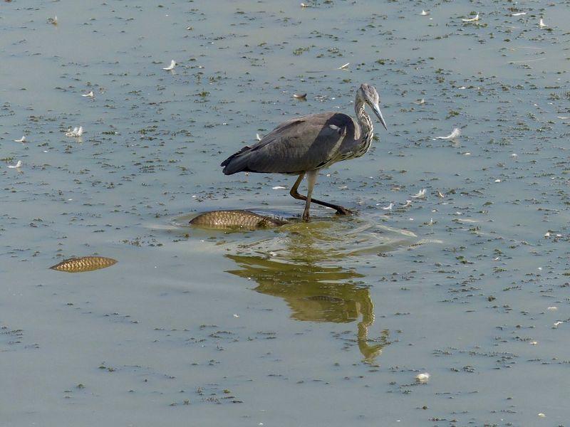 Animal Themes Bird Too Big Birdwatching EyeEmNewHere Lake Life Fishing Bird Heron Heron Fishing Aktion Drama