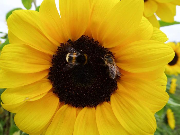 Sonnenblume /