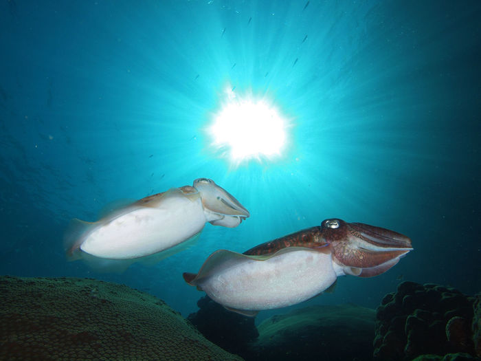 Cuttle fish against the sun
