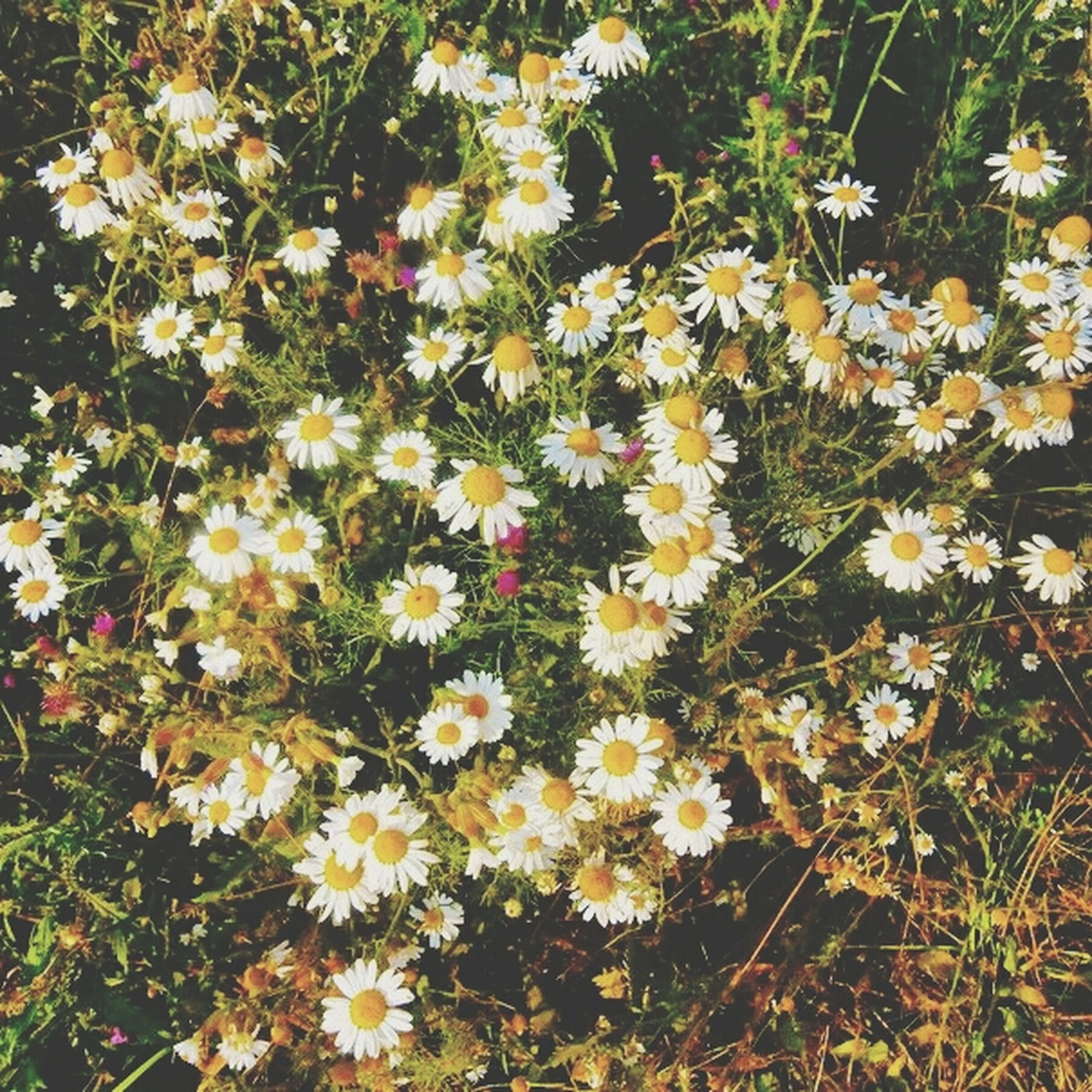 flower, growth, freshness, fragility, petal, white color, high angle view, plant, beauty in nature, daisy, blooming, nature, flower head, field, in bloom, outdoors, day, wildflower, no people, abundance