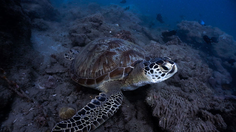 Green sea turtle resting at the bottom