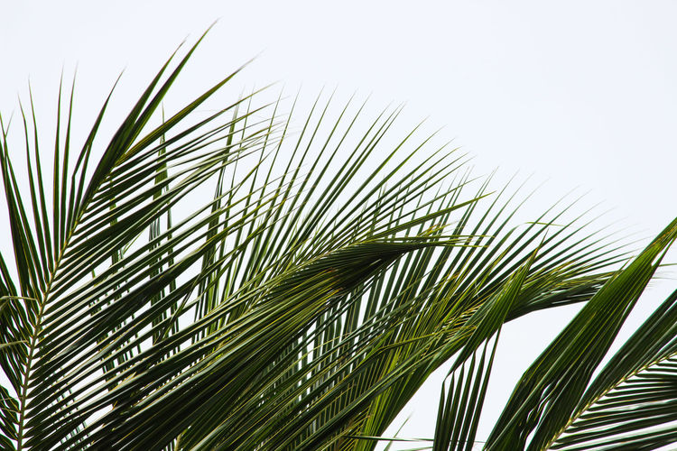 THE COCONUT PALM TREE FRONDS Nature Coconut Palm Tree Fronds Against Blue Sky Fronds Blue Sky Clerk Sky Tree Palm Tree Frond Leaf Palm Leaf Sky Close-up Fanned Out In Bloom Plant Life Growing