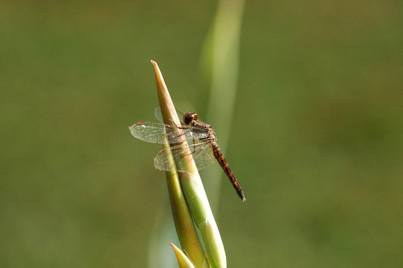 Close-up image of dragonfly resting on leaf against green background