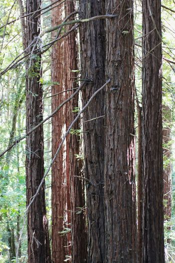 Tree Trunk Tree Forest Growth Nature WoodLand Day Outdoors No People Lush - Description Beauty In Nature Tranquility Tree Area Close-up Redwoods EyeEm Best Shots - Landscape Trunk Landscape Leaves Conifers