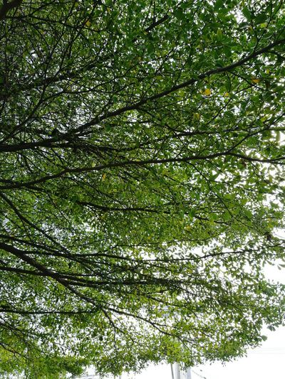 Tree Low Angle View Green Color Backgrounds Beauty In Nature Day Branch Sky Outdoors Nature Tree