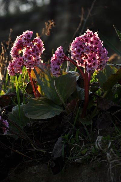 Bergenia Flowers Bergenia Hybride Blooming Flower Close-up Elephant's Ears Elephant-eared Saxifrage Flower Flower Portrait Nature Outdoors Red Bergenia