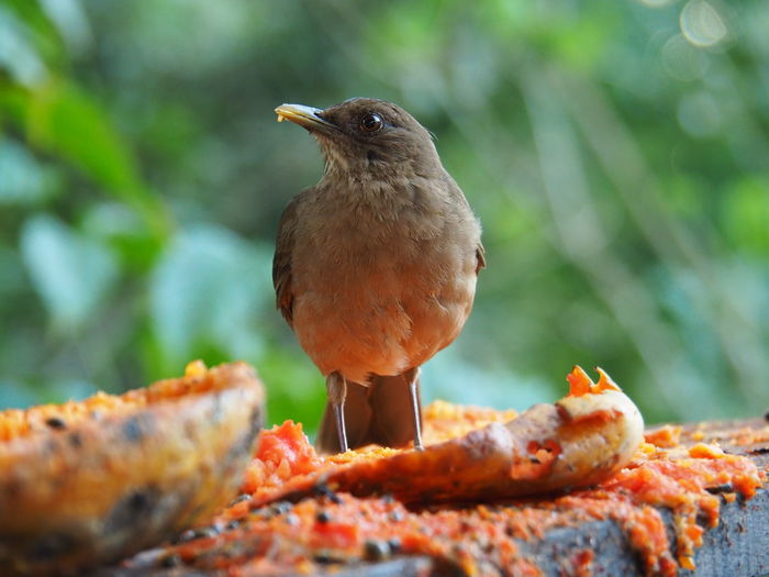Nature - Birds Animal Themes Animal Bird Animals In The Wild Vertebrate Animal Wildlife One Animal Day No People Outdoors Costa Rica Nature On Your Doorstep Nature Photography EyeEm Nature Lover Beauty In Nature One Bird Blurred Background Food Close-up Perching Focus On Foreground Full Length Selective Focus Nature Eating Front View