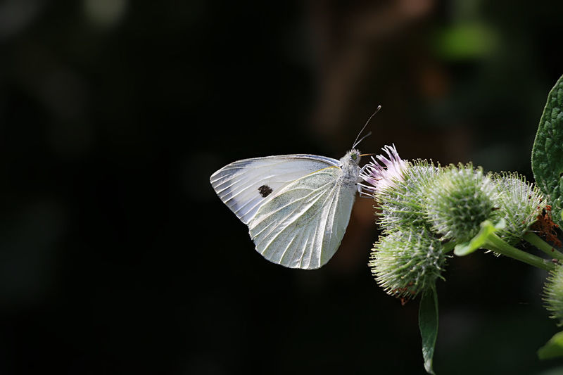 Butterfly White White Butterflies Insect Animal Animal Photography Nature Nature Photography Canon Canonphotography Canon 70d Holland Rotterdam Kralingsebos Kralingseplas Netherlands Thenetherlands Picture Green Plant Flowers Wings Pretty Focus Close Up Nature