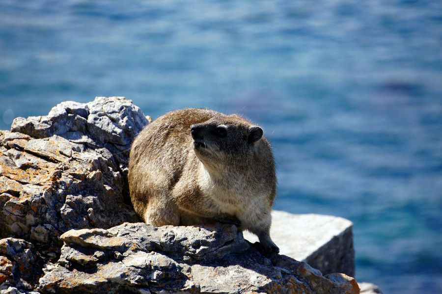 Animal Wildlife Animals In The Wild Cute Dassie Day Focus On Foreground Full Length Mammal Nature No People One Animal Outdoors Rock Rock - Object Sea Solid Vertebrate Water