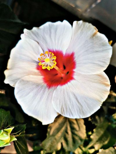 Close-up of white hibiscus flower