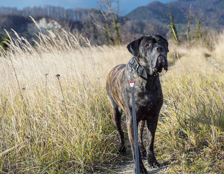 Best Friend Cane Corso Daily Walk Dog Dog Focusing On Dog In High Grass Dog Photography Dogs Exploring Nature Focus On High Grass And Dog Hiking With My Dog Mastiff My Guardian Nature Outdoors Posing Dog Posing For The Camera Walking With A Dog