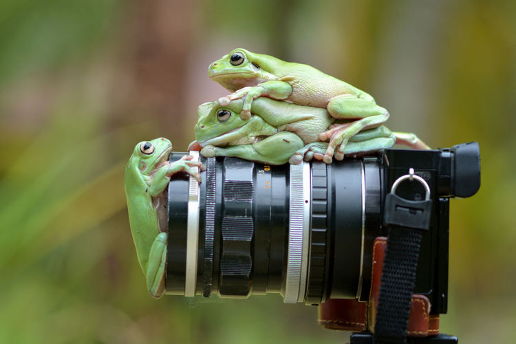 Close-up of frogs on camera