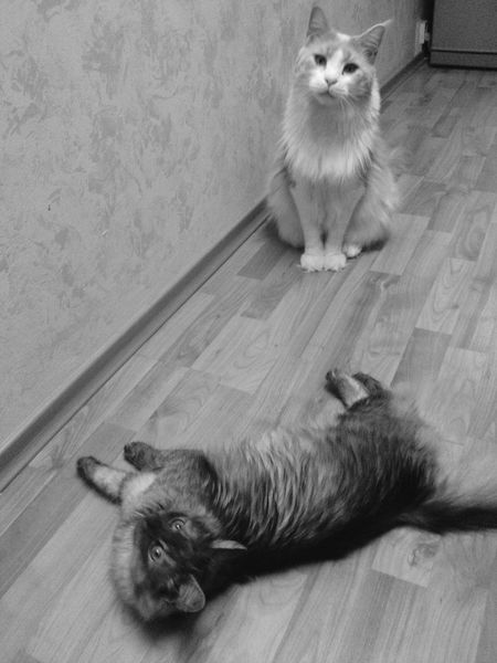 Artush & Malina Who The Hell Are  You? :)) Cute Cats Love♥ Maine Coon Black & White Blackandwhite Photography Animals Home Pets Petstagram Cute Pets Petslife Pet Photography  Pets Corner