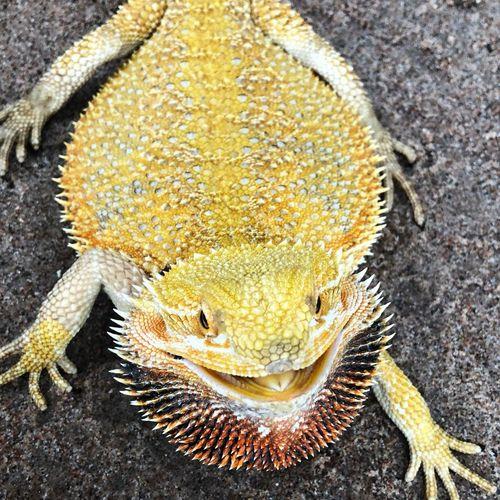 Yellow Beardeddragon Bearded Dragon Animal Themes Animal One Animal Animal Wildlife Animals In The Wild Close-up Reptile
