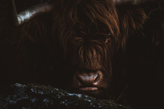 EyeEmNewHere Highland Cattle Horns Norway Wildlife & Nature Wildlife Photography Animal Animal Head  Animal Themes Cattle Close Up Close-up Cow Day Domestic Animals Forest Lofoten Mammal Moody Nature No People One Animal Outdoors Rock - Object Stare