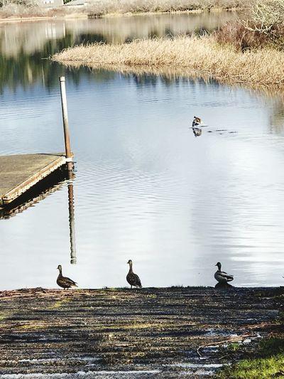 Ducks at Sutton