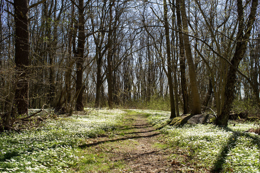Spring flowers Nature Norway Trees Beauty In Nature Day Footpath Forest Forest Floor Forest Flowers Growth Nature No People Non-urban Scene Outdoors Plant Scenics - Nature The Way Forward Trail Tranquil Scene Tranquility Tree Tree Trunk Trunk WoodLand Woods