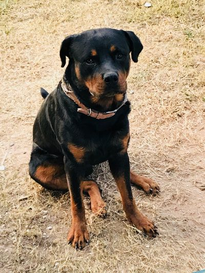 Dog Rottweiler Pets One Animal Animal Themes Domestic Animals Portrait Sitting Tadaa Community Theholysin