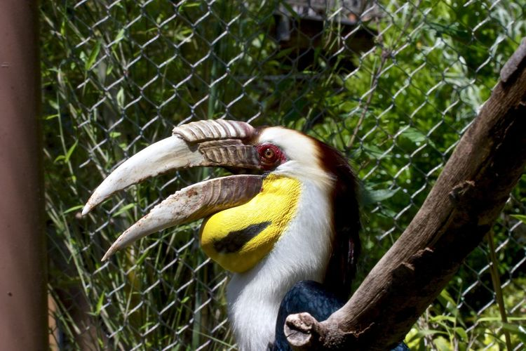 Hornbill in cage at zoo