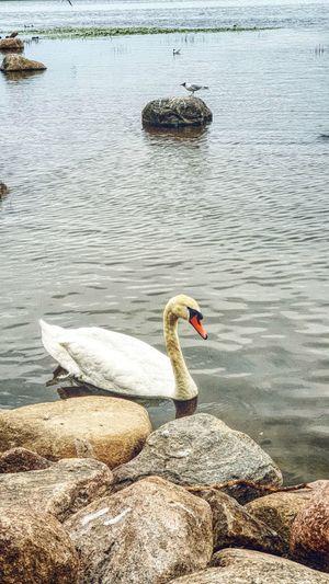 Swan Bird Black