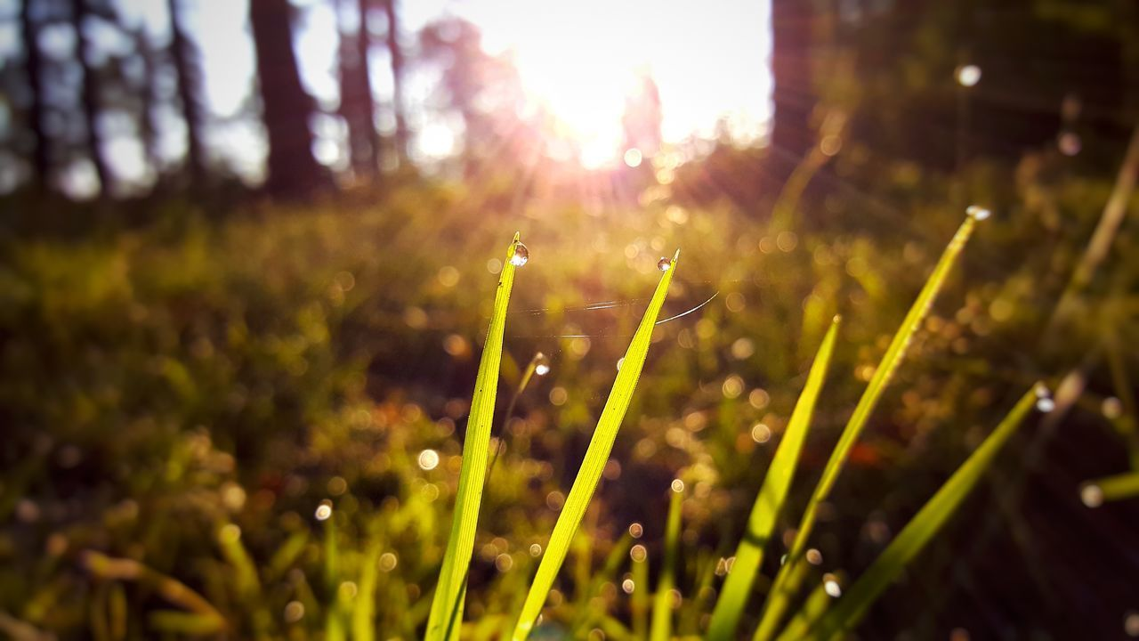 growth, plant, nature, beauty in nature, sunlight, lens flare, no people, field, day, selective focus, land, close-up, focus on foreground, tranquility, outdoors, freshness, sunbeam, green color, grass, sky, blade of grass, dew