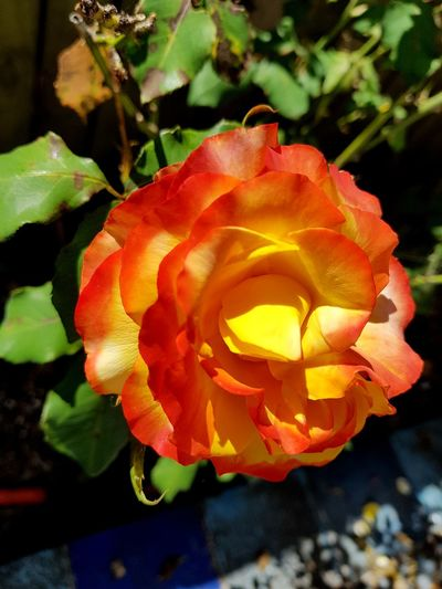 Tequila Sunrise. :-) Petal Nature Beauty In Nature Flower Head Fragility Rose - Flower