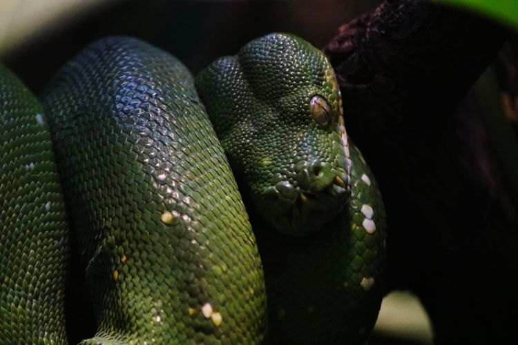 Schlange  Snakes Are Beautiful Green Color Green EyeEm Best Shots EyeEm Nature Lover Wildlife Wildlife & Nature Animal Themes Animals In The Wild Animal Wildlife Animal Dangerous Animals Danger Bite EyeEm Selects Canon Canonphotography Eyes Looking At Camera Focus On Foreground Focus Light And Shadow żmija Reptile Closing Animal Scale Close-up Snake Exotic Pets A New Beginning EyeEmNewHere