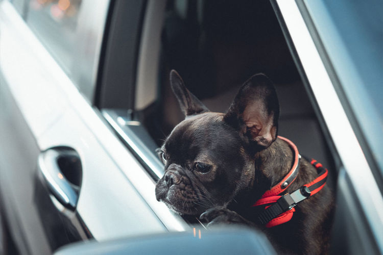 Black dog looking through window in car