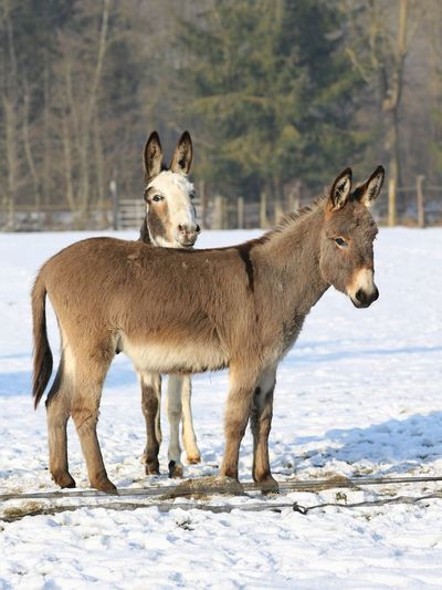 """""""Donkey friends"""" Tiere Winter Cold Temperature Standing Looking At Camera Mammal Animal Wildlife Nature Animal Themes Field Outdoors No People Portrait Day Beauty In Nature Michael Hruschka Animals Agriculture Farm Animals Esel Farm Life Farm Donkey Bauernhof Animal"""