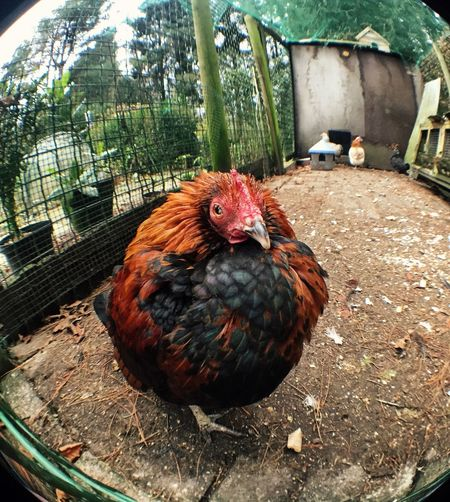 Chicken Nature Animals IPhoneography Olloclip Fisheye Fisheye Master Photogenic  Netherlands