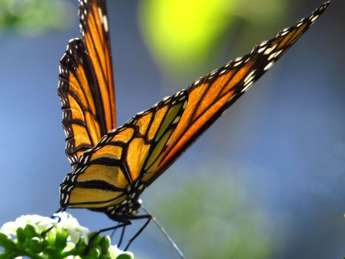 Close-up of monarch butterfly on plant