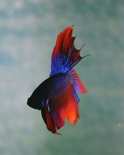 Close-up of siamese fighting fish