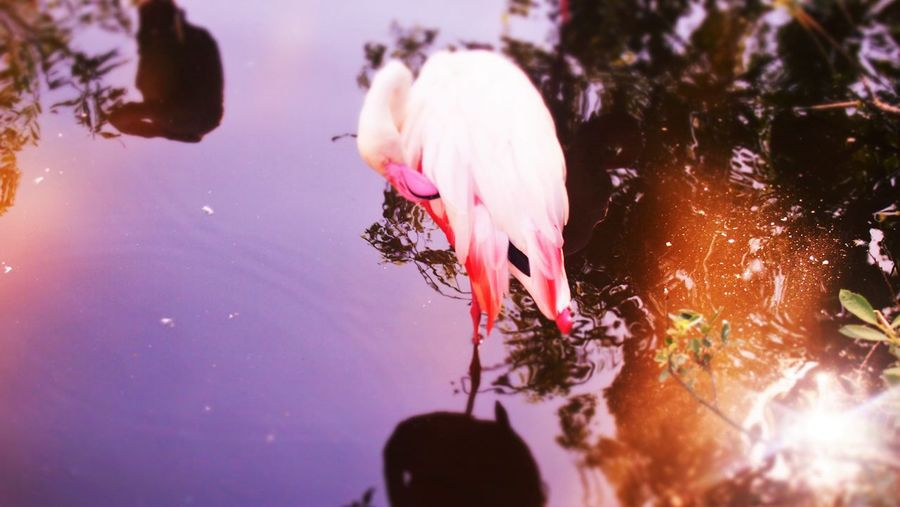 Flamingo By Trees With Its Reflection Seen In Water