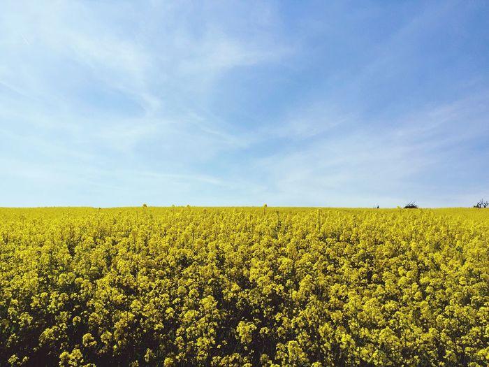 Yellow flowers growing in field