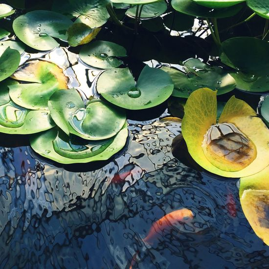 Bloop. Water Lily Pond Fish Goldfish Botanical Gardens Ripples Reflection Sunlight Calm