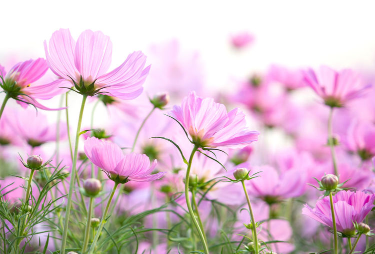 Flower Cosmos Daisy Isolated Garden Bloom Blooming Blossom Field Flora Floral Asteraceae Asterales Autumn Background Beautiful Blue Botany Bright Bud Closeup Colorful Coreopsideae Dream Environment Fertile Fresh Gerbera Grass Green Landscape Light Meadow Morning Nature Outdoor Park Petal Plant Pollen Pretty Season  Serene Spectacular Spring Stamen Summer Sunny Sunset Vivid