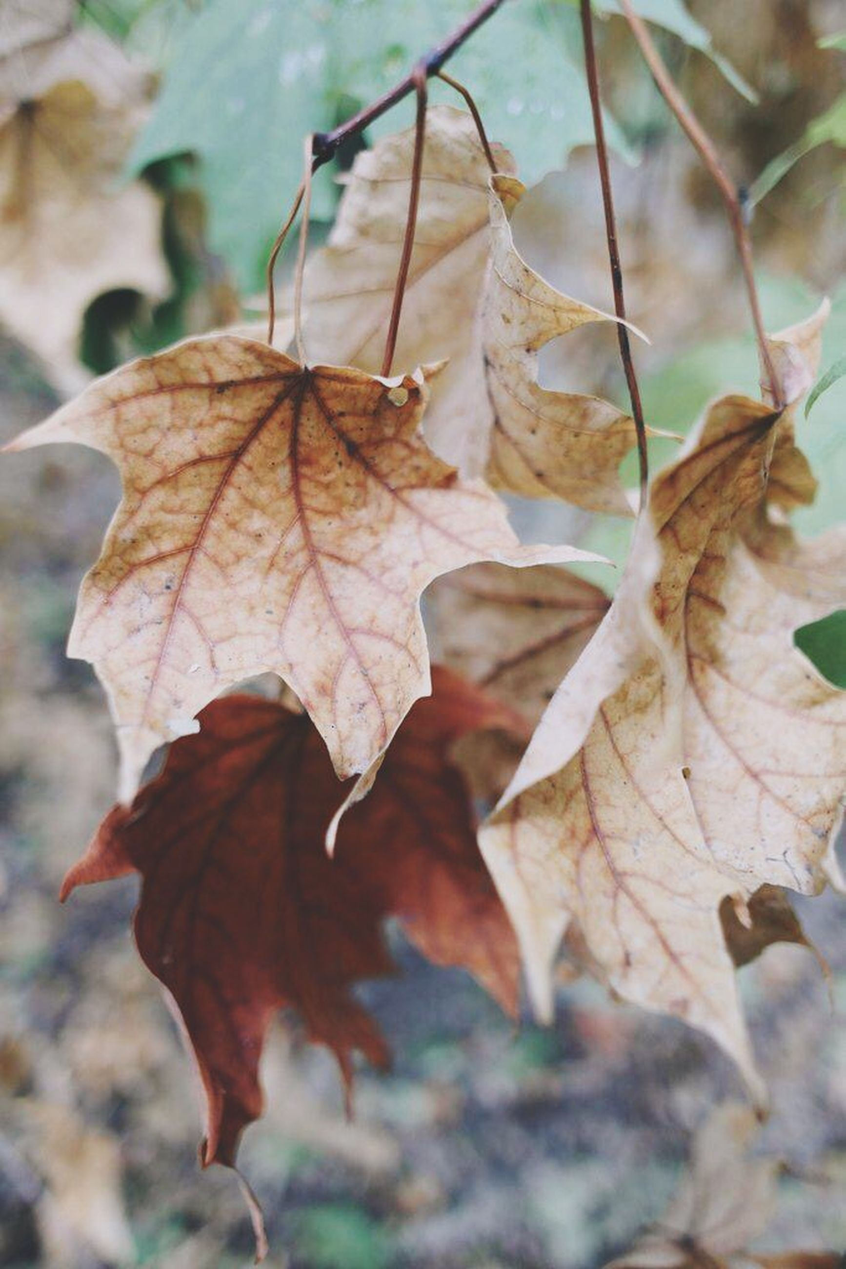 leaf, dry, autumn, close-up, leaf vein, focus on foreground, nature, change, season, leaves, natural pattern, tranquility, aging process, day, growth, plant, branch, outdoors, twig, beauty in nature