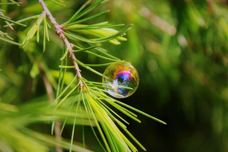 Close up of a bubble in a pine tree